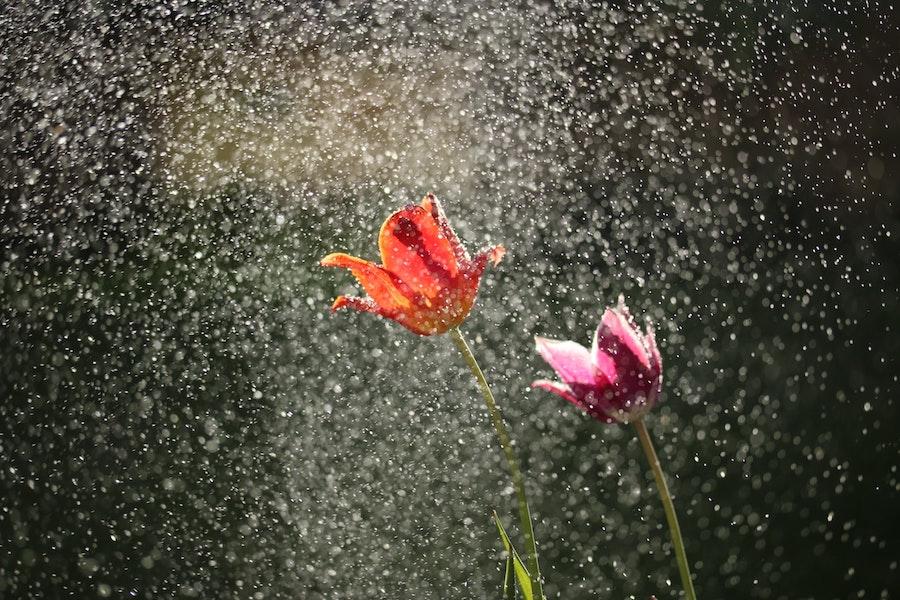 爽やかの雨に濡れた、赤い花