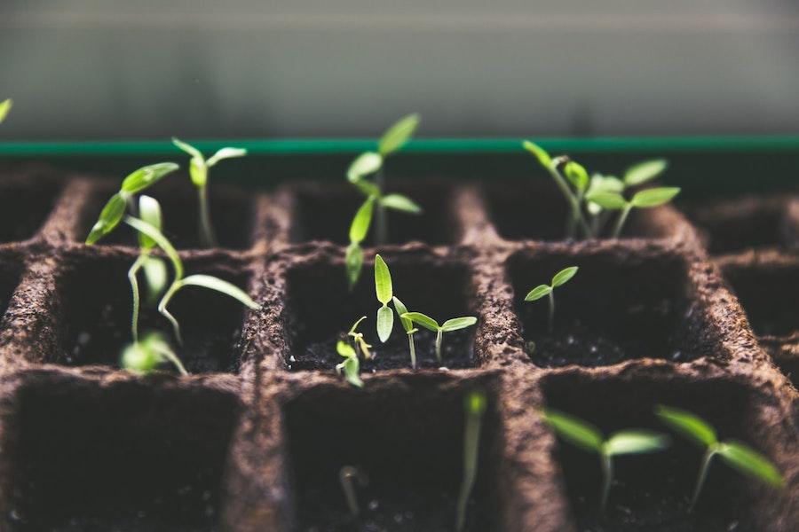 小さな緑の芽を出した麻の苗