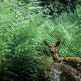 茂みから覗く鹿