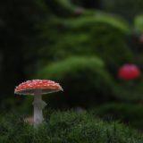 緑の森の中の真っ赤な毒キノコ