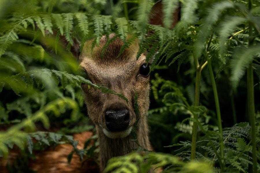 緑の茂みの中からこちらを見ている鹿