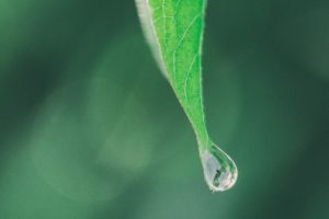 緑の葉の先の滴