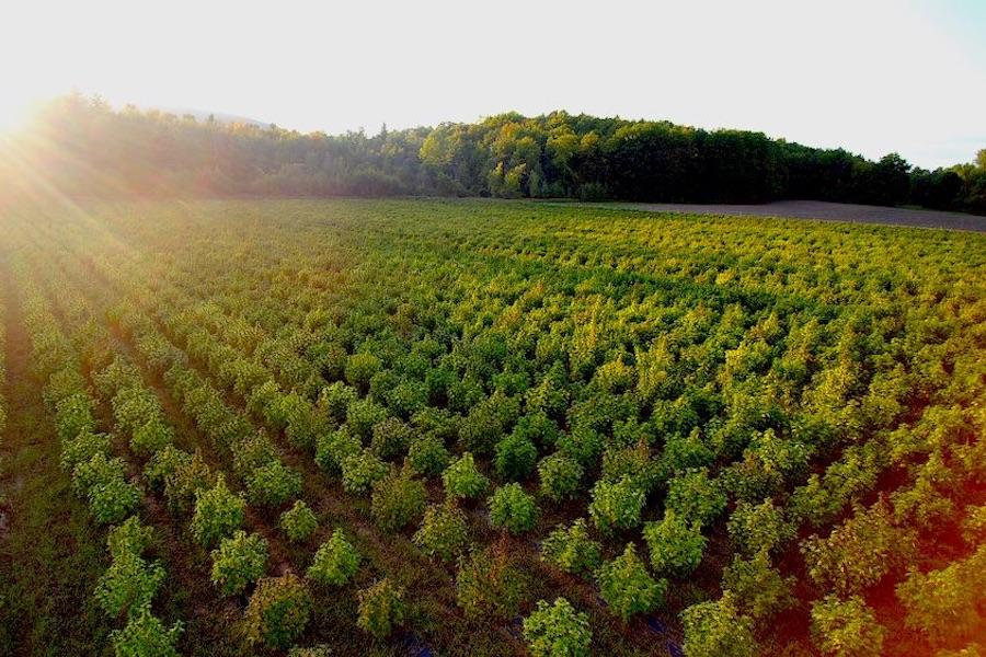 よく手入れされた美しい麻の畑