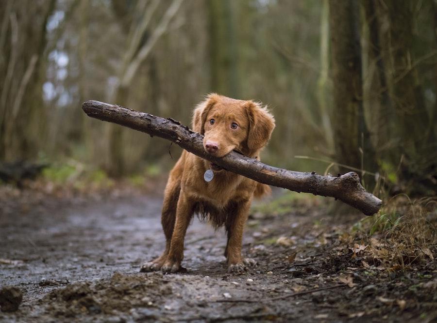 大きな木の枝をくわえた犬