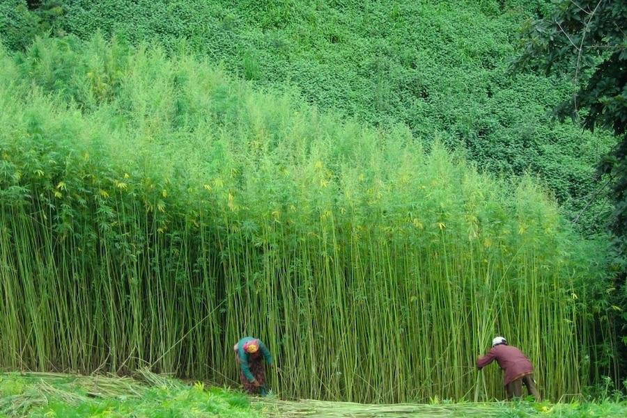 緑の林のように成長した麻の畑